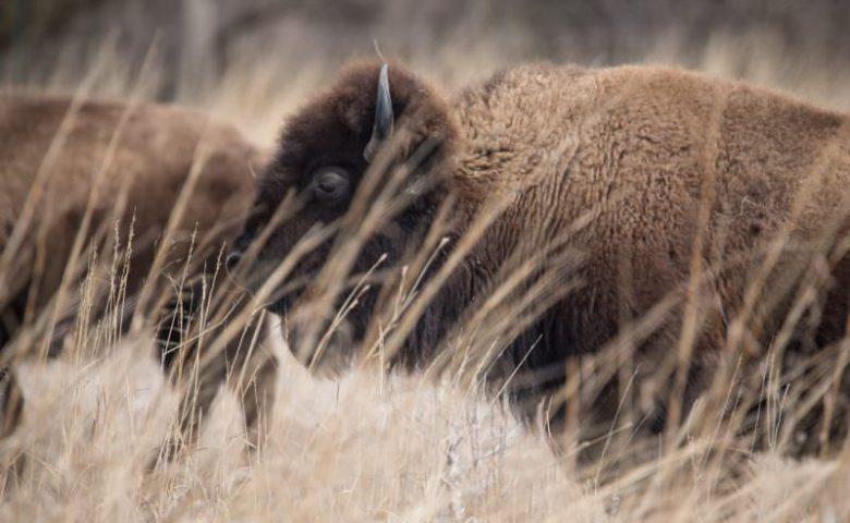 Nebraska-bison-0921-800x500