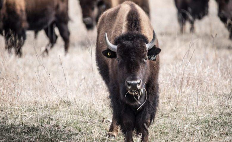 Nebraska-bison-0928-1-800x500