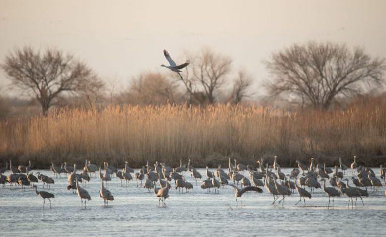 Nebraska-cranes-0848-1-800x500