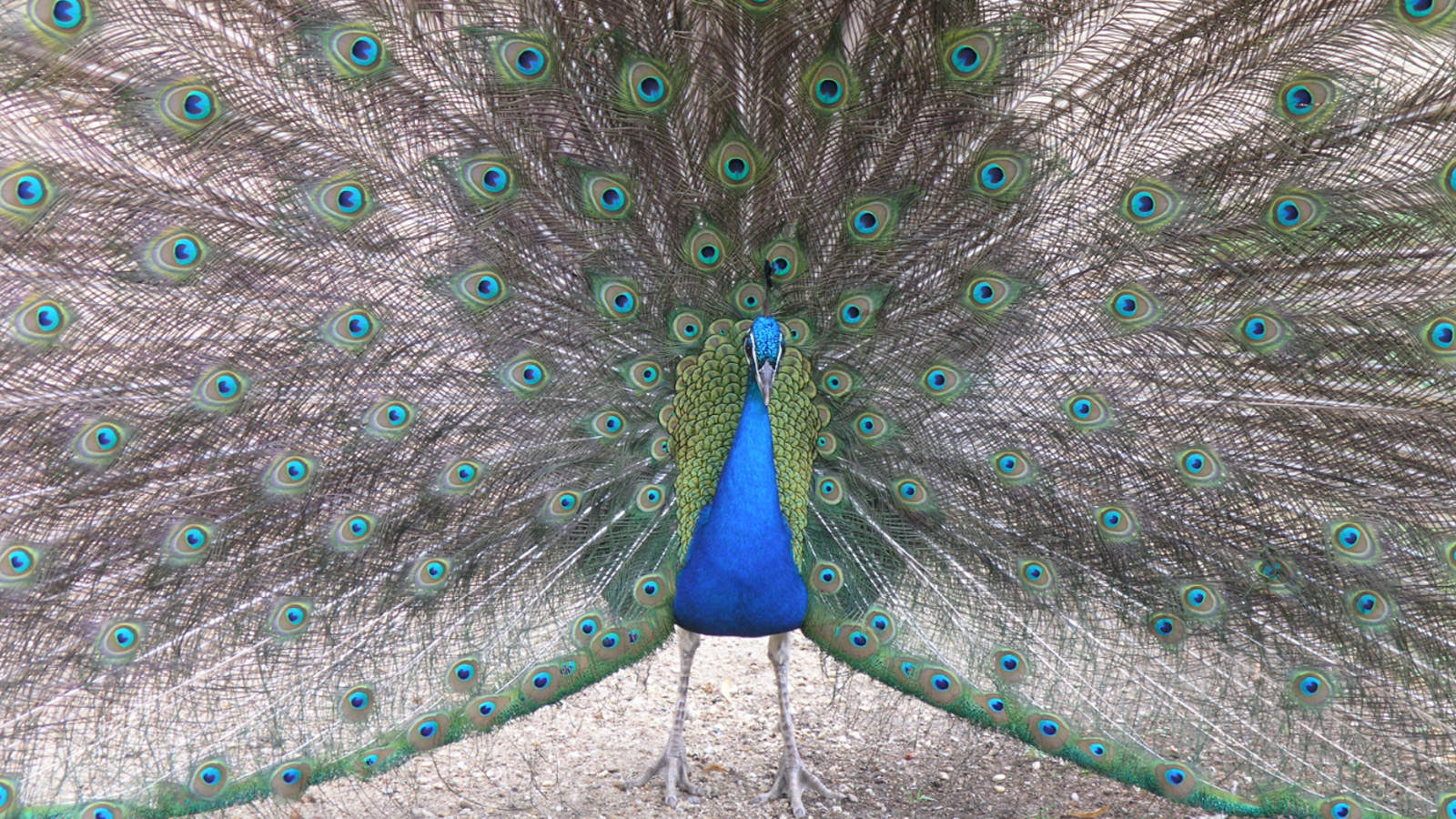 Large Peacock