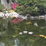 Koi and Ducks Lan Su Chinese Garden